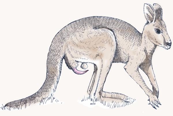 Kangaroo Genitalia