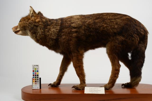 Falkland Fox Dusicyon Australis Vt2369 Otago Museum